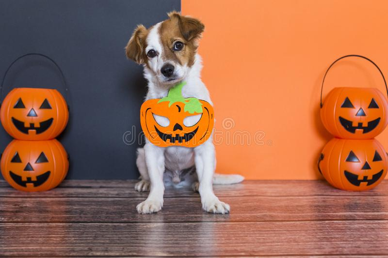 Cute young small dog lying on on the wood floor with a halloween costume and decoration. Pets indoors. orange and black background. Haunt, humor, joke, animal royalty free stock photos