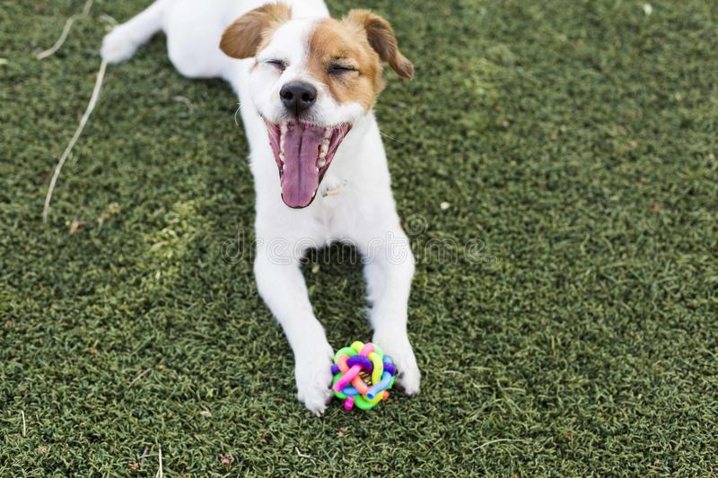 Cute young small dog playing with his toy, a ball and looking at stock image