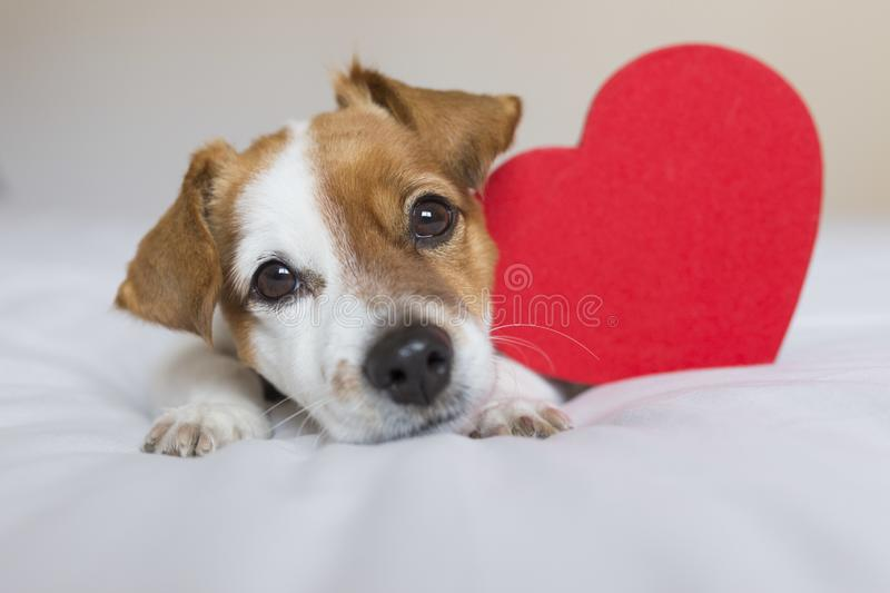 Cute young small dog sitting on bed with a red heart. Valentines day Concept. Pets indoors.  stock image