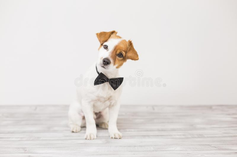 Cute young small white dog wearing a black bowtie. Sitting on the floor and looking at the camera.Home and lifestyle, Pets indoors stock photography