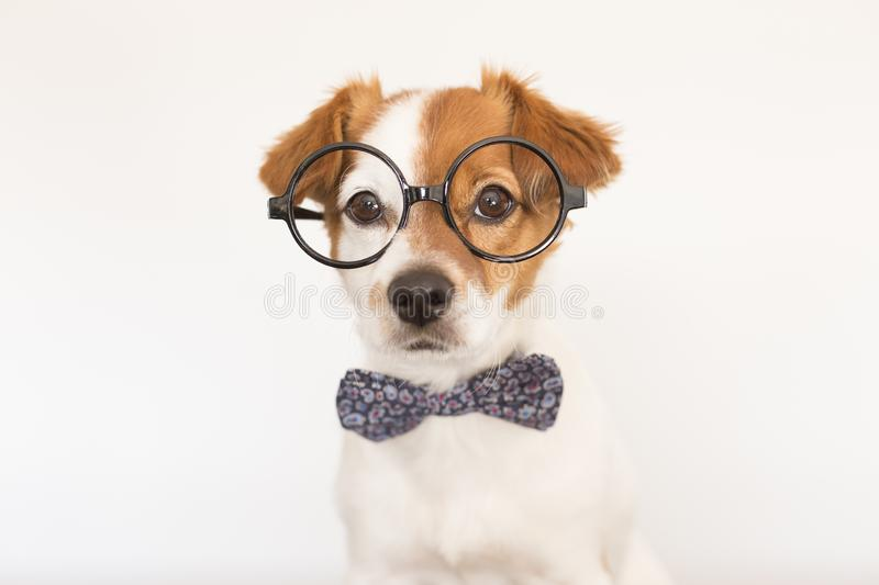 Cute young small white dog wearing a modern bowtie and glasses. Sitting on the wood floor and looking at the camera.White stock photography