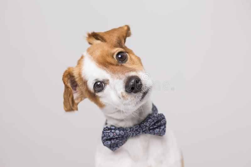Cute young small white dog wearing a modern bowtie. Sitting on t royalty free stock images