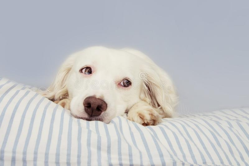 CUTE YOUNG TERRIER DOG WITH BLUE EYES FALLING ASLEEP ON STRIPPED BED OWNER. SICK,SAD, FEAR OR RELAXING stock photo