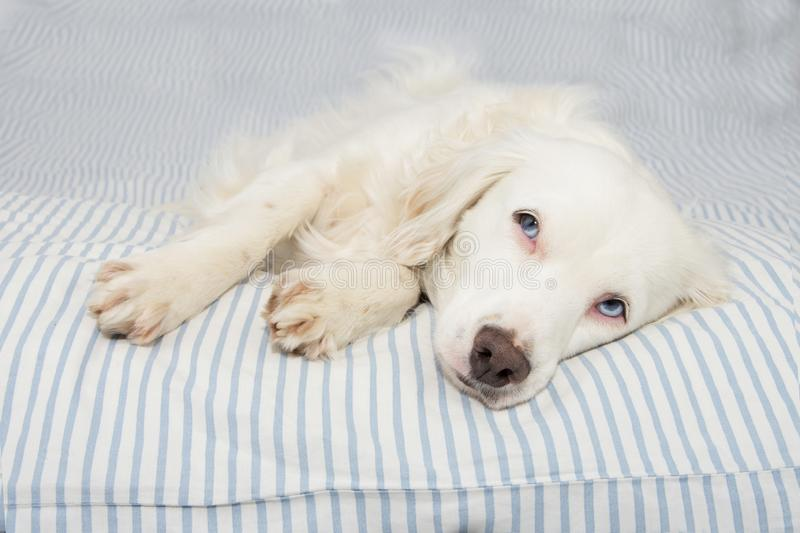CUTE YOUNG TERRIER DOG WITH BLUE EYES FALLING ASLEEP ON STRIPPED BED OWNER. SICK,SAD OR RELAXING.  stock photos