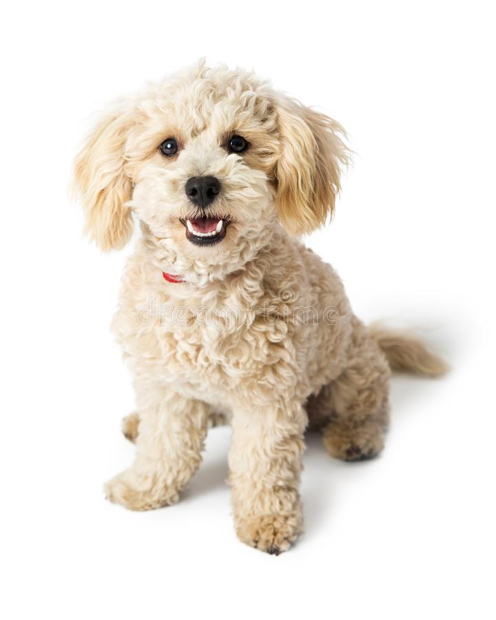 Friendly Happy Poodle Crossbreed Dog Sitting. Cute young white color Poodle Havanese crossbreed dog sitting with happy and friendly expression stock photo