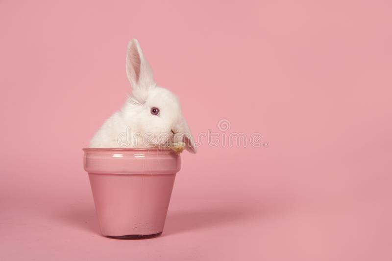 Cute young white rabbit in a pink flowerpot on a pink background with copy space stock images