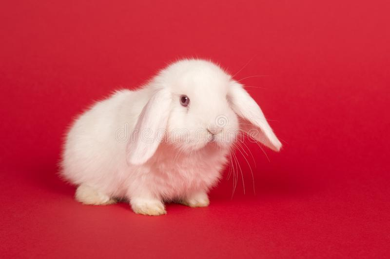 Cute young white rabbit on a red background seen from the front royalty free stock photos