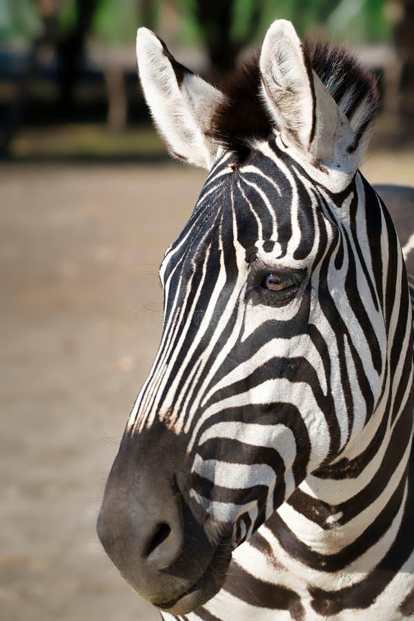 7,361 Zebra Closeup Photos - Free & Royalty-Free Stock ...