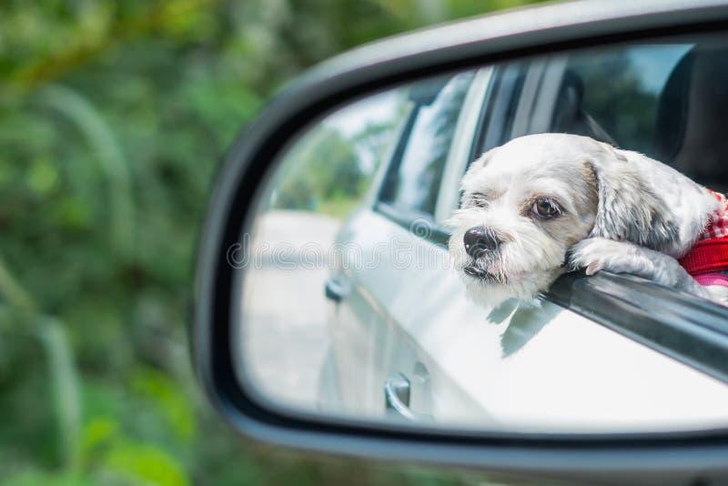 Cutely vit för Shih för kort hår hund tzu i bilspegeln som ser ut ur fönster arkivbild