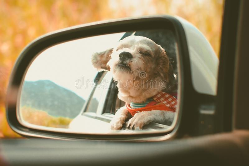 Cutely white short hair Shih tzu dog in car mirror looking out of window. During travel trip, added colour filter and vintage style royalty free stock photos