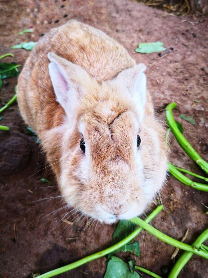 Cuteness de conejos marrones claros foto de archivo