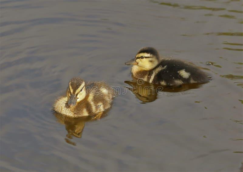 Cuteness van de Eendjes van de babywilde eend royalty-vrije stock foto