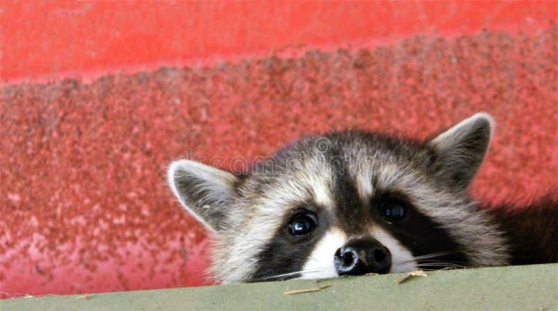 Cutest baby raccoon ever stock photo