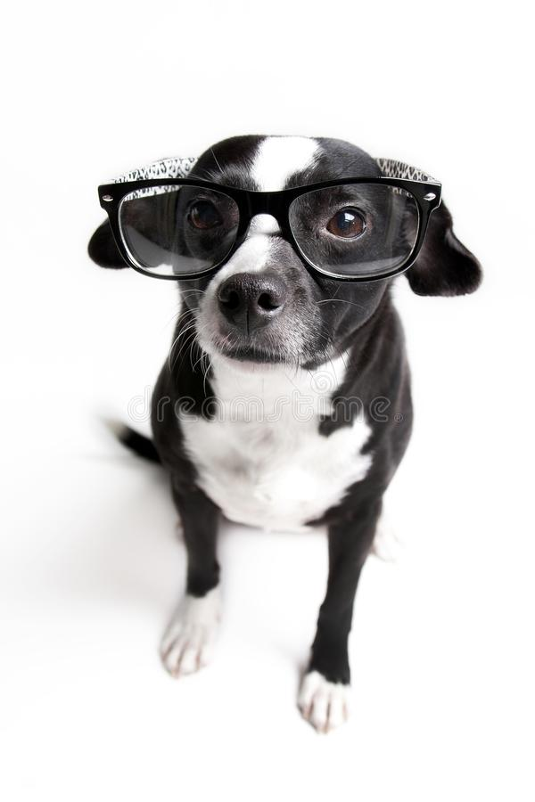Cutest dog is watching you with glasses on against white background stock photography