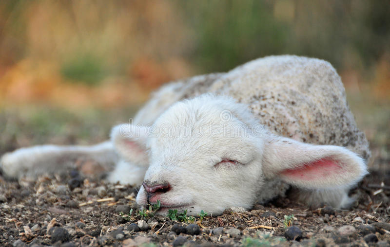 The cutest newborn Spring lamb ever! stock image