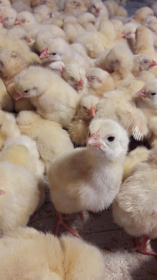 Cutie-Hühnertapete stockfotografie