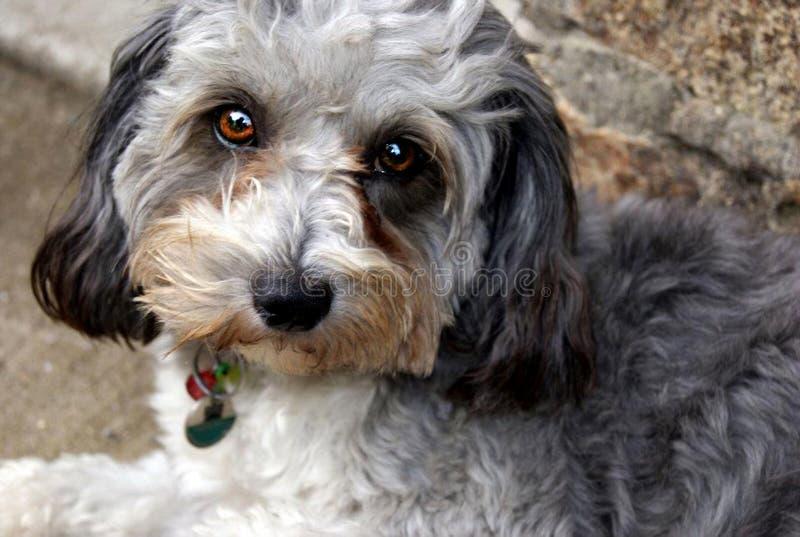 Cutie hund med bronsögon royaltyfri bild
