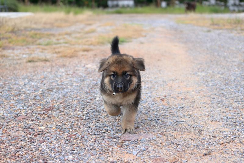 Cutie German Shepherd puppy walking on the yard. Cutie lovely German Shepherd puppy walking on the yard stock images