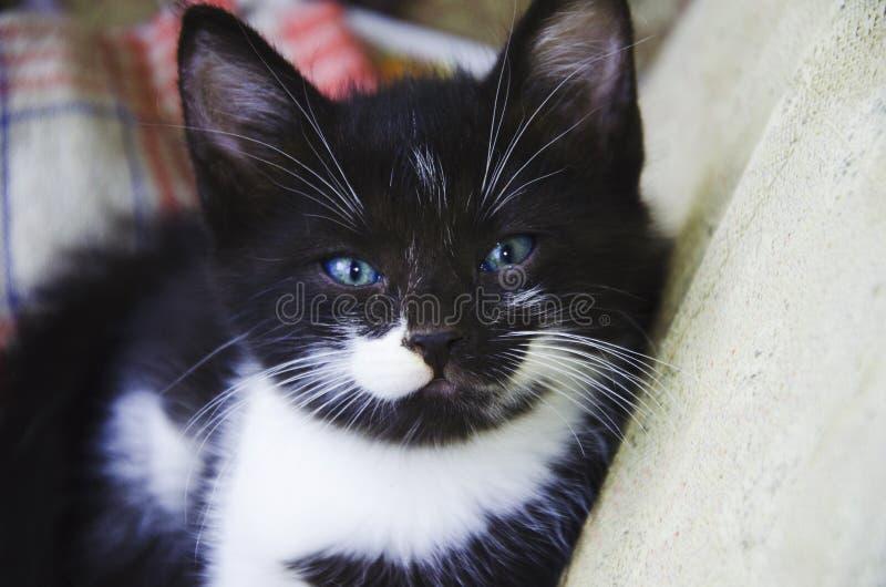 Cutie-Miezekatze stockbilder