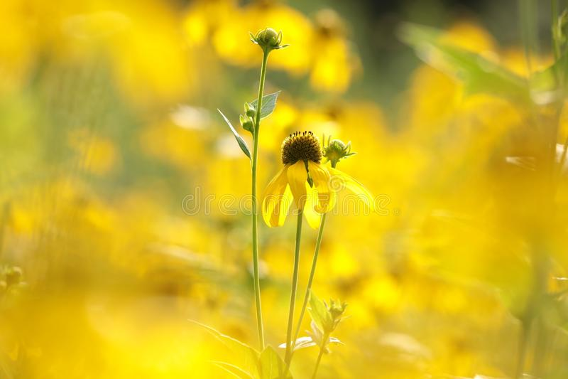 Cutleaf Coneflower - Rudbeckialaciniata i solskenet royaltyfria bilder