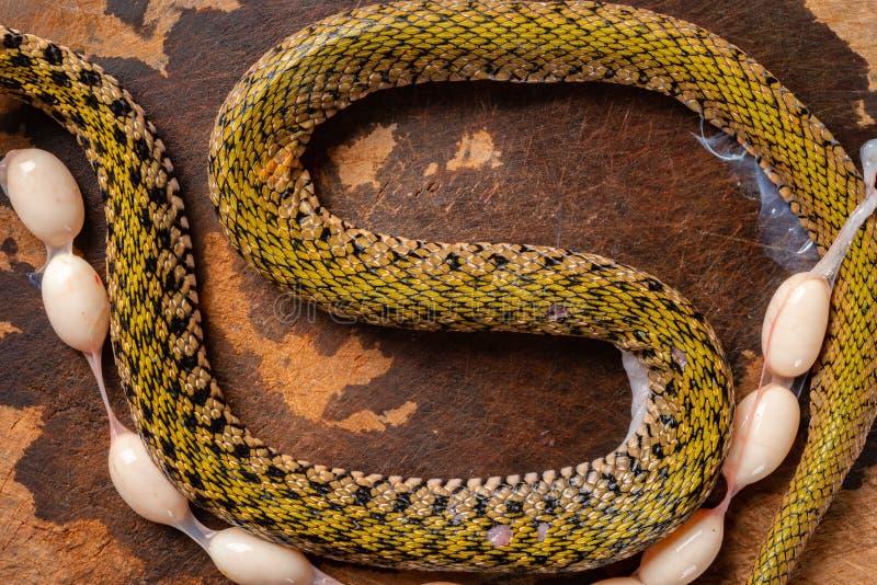 Snake Eggs Stock Photos Download 407 Royalty Free Photos
