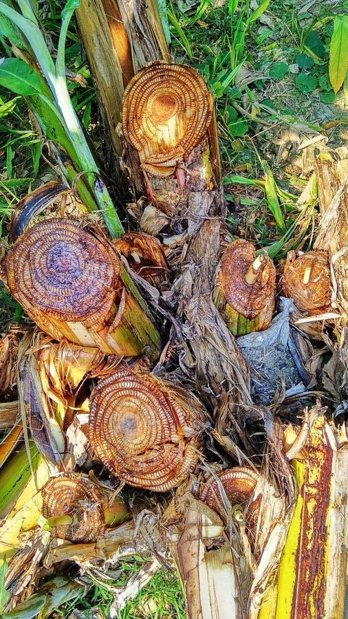 Cutted drzewo banan obraz royalty free