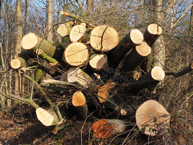 Cutted trees for removal for firewood royalty free stock images