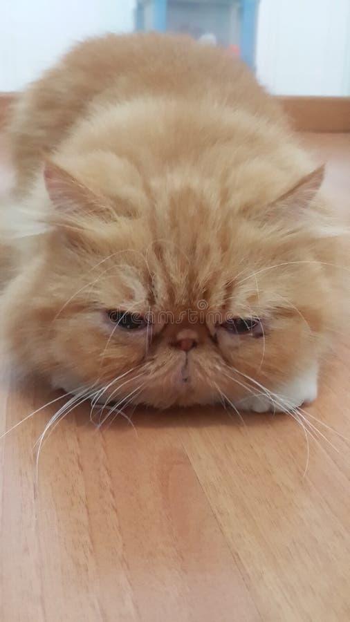 Cuttie猫 免版税库存图片