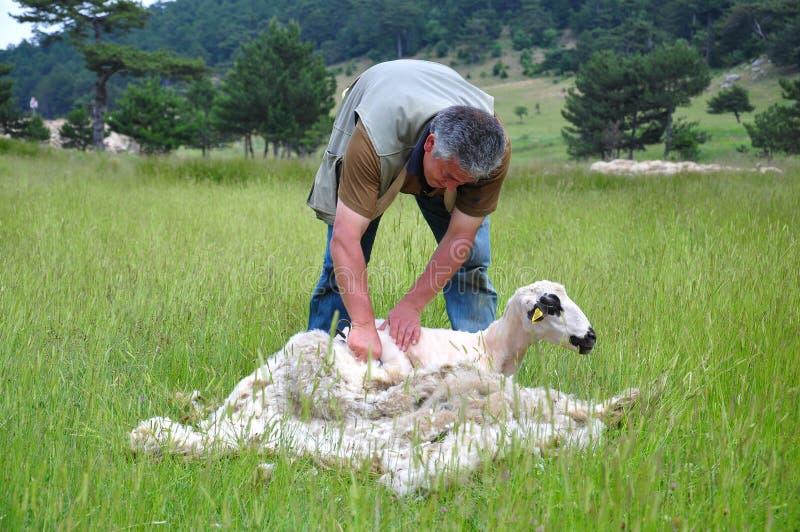 Cutting av en sheeps päls royaltyfria foton