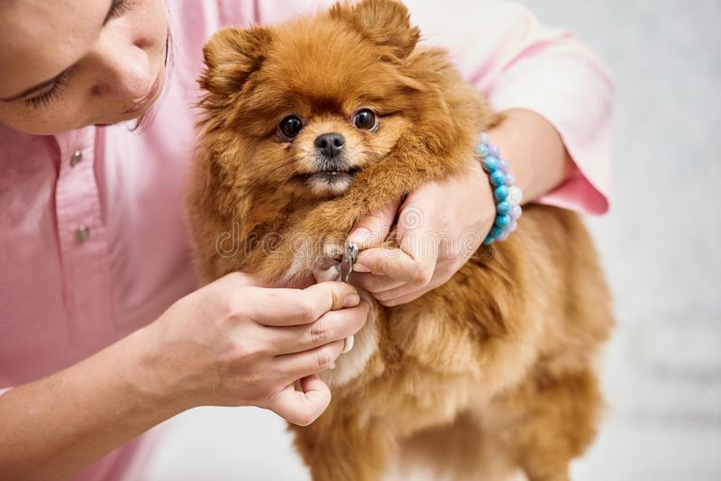 Cutting dog`s toenail royalty free stock photo