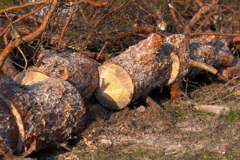 Cutting down trees and forests. Sawn logs lying on the grass. Stumps of conifer. Pine sawn into pieces on summer sunny day royalty free stock photography
