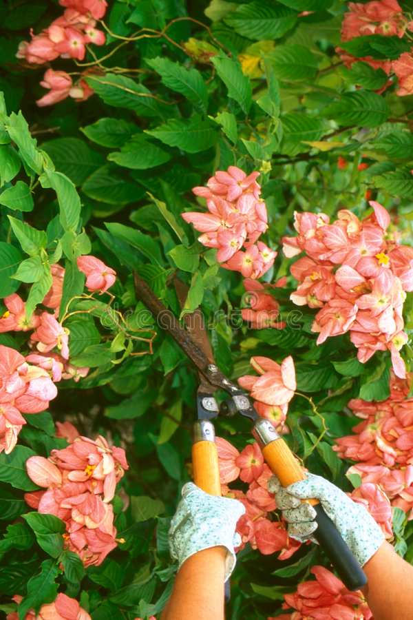 Cutting Hedges stock images