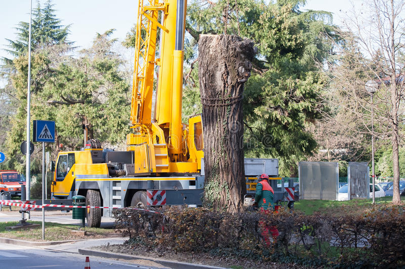 Cutting a large tree in a city. royalty free stock photo