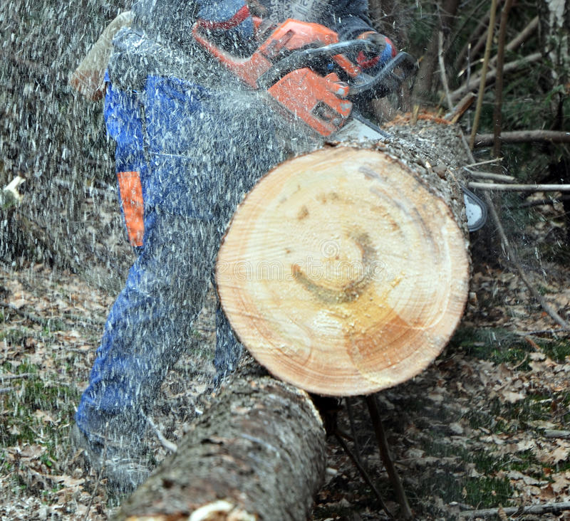 Cutting large tree in pieces stock photography