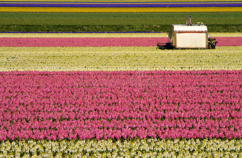 Cutting machine in the hyacinth fields stock images