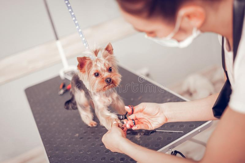 Top view of woman cutting nails for cute little dog royalty free stock images