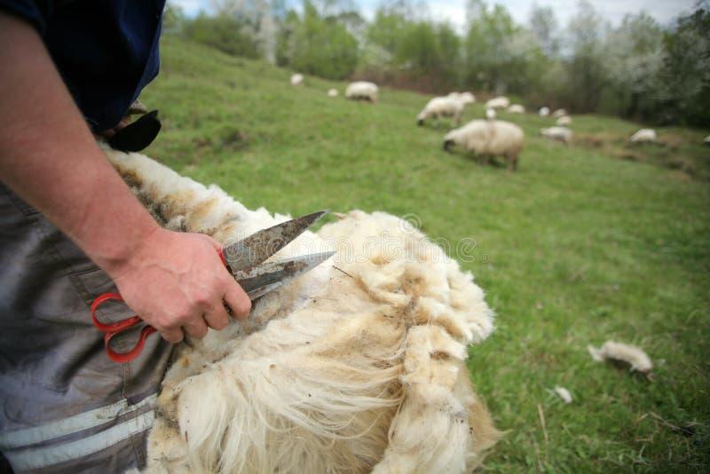 Download Cutting off sheep fleece stock photo. Image of herd, detail - 19610418