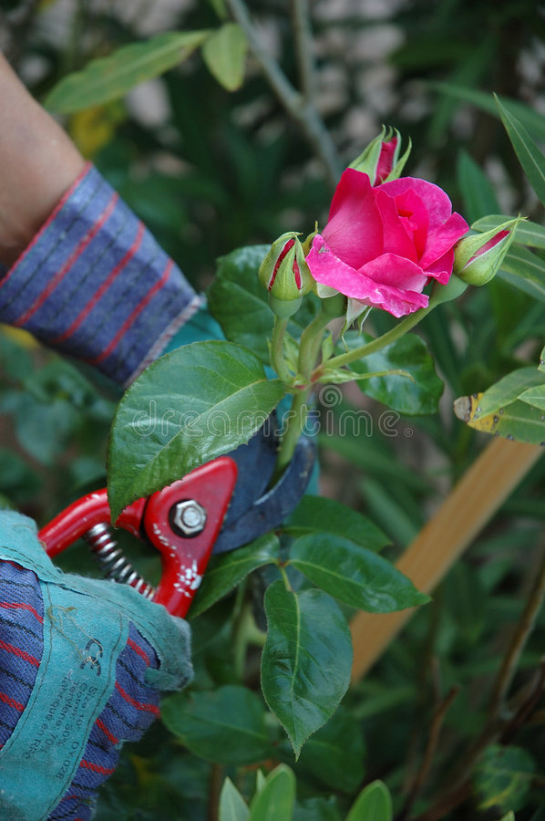 Cutting roses stock photo