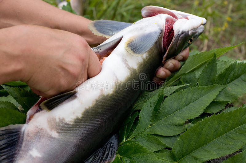 Download Cutting Up Fresh-caught Salmon Stock Photo - Image: 16344854