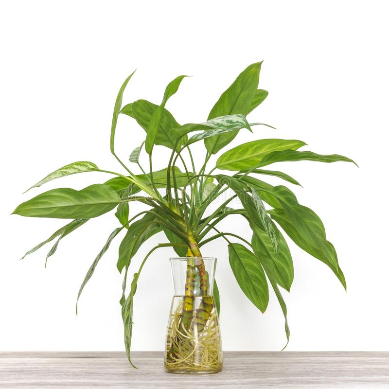 Beautiful root system of houseplant cuttings rooting in water stock images