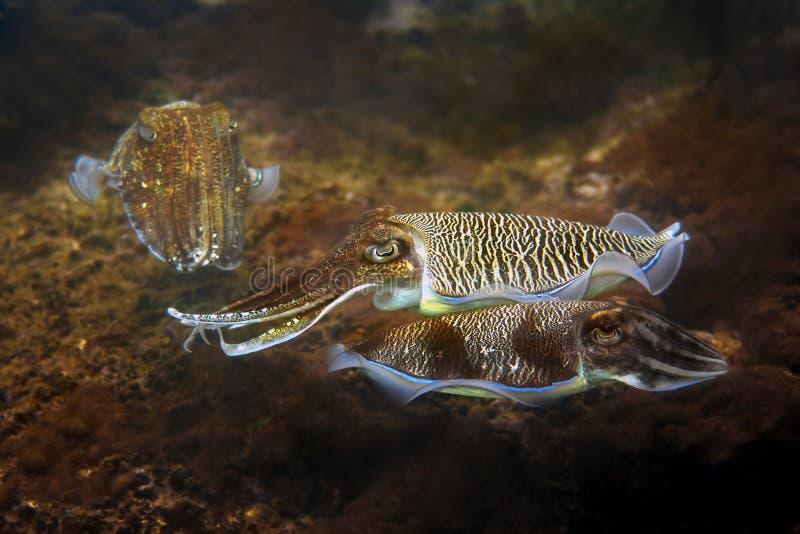 cuttlefish zdjęcia royalty free