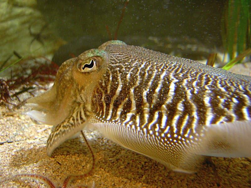 Download Cuttlefish stock photo. Image of marine, aquatic, eyes, sealife - 13332
