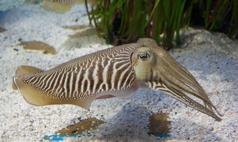 cuttlefish obraz royalty free