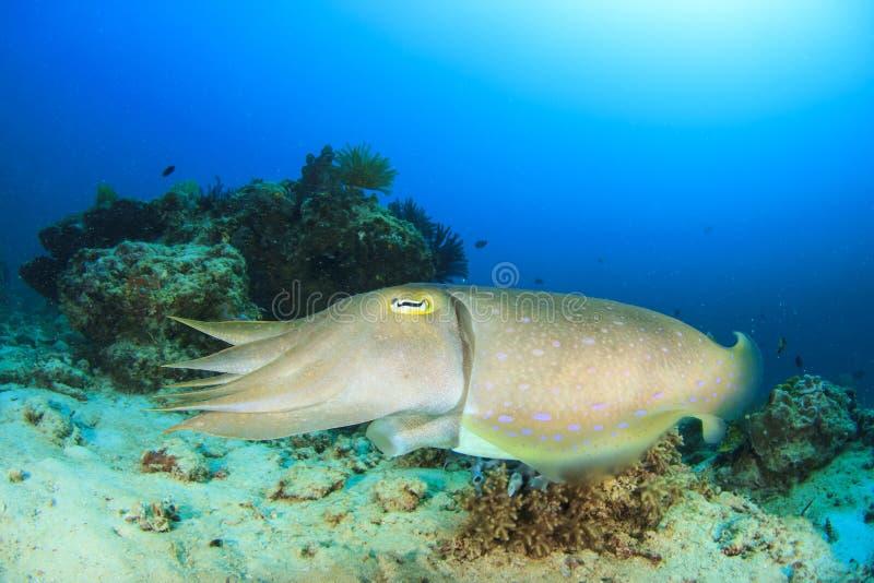 Cuttlefish zdjęcia stock