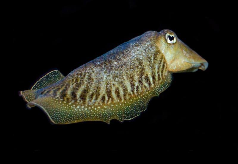 Download Cuttlefish stock photo. Image of species, underwater, chromatophores - 6570812