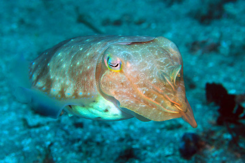 Download Cuttlefish stock image. Image of coral, scuba, marine - 83719987