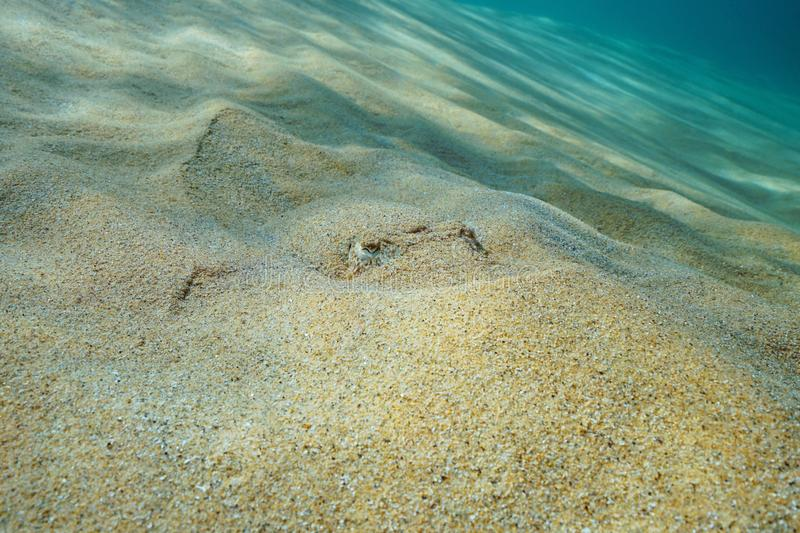 A cuttlefish hidden in the sand underwater sea royalty free stock photos