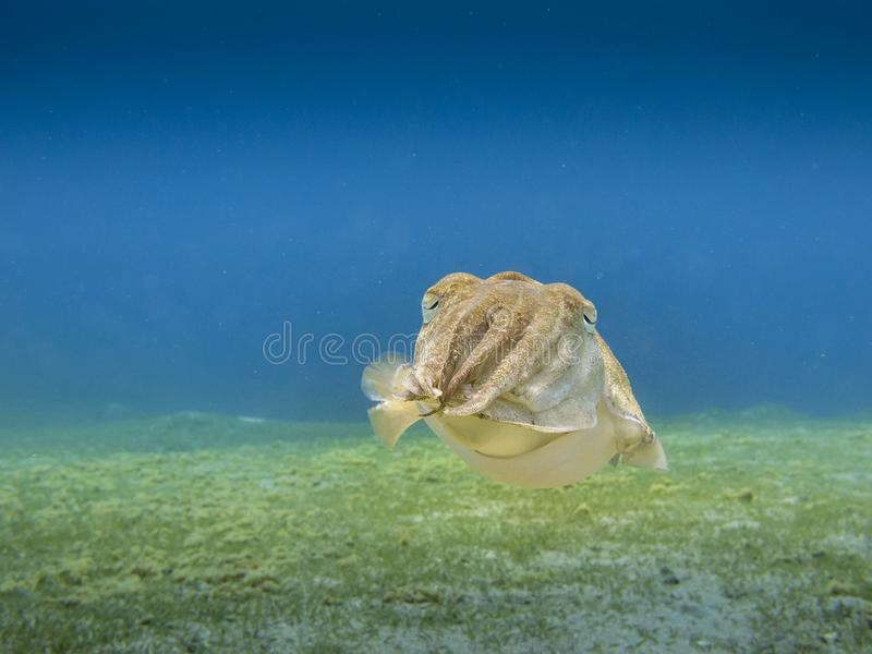 Cuttlefish hovering above the sea grass with clear blue sea in the background - Underwater at dive site Bannerfish Bay in Dahab,. Curious sepia pharaonis royalty free stock photography
