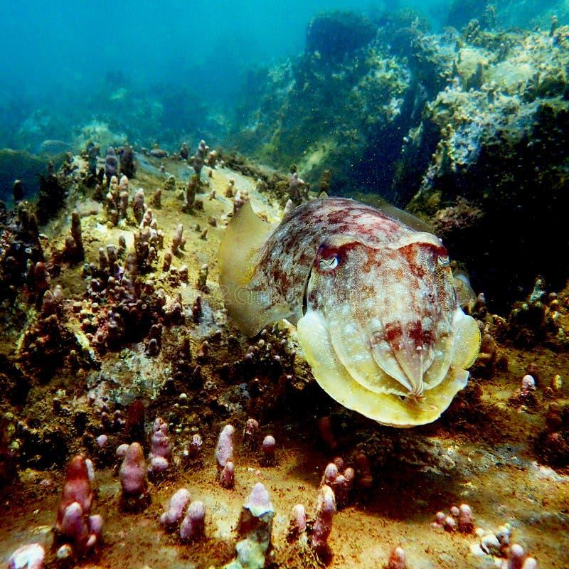 Cuttlefish na rafie w Principe wyspie obrazy royalty free