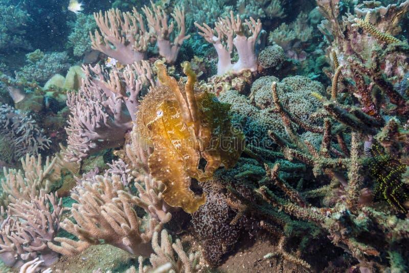 Cuttlefish podwodni z wybrzeża Bali Indonezja zdjęcia stock